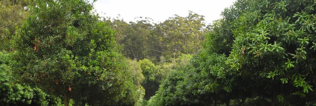 Macadamia Husk Spot Trials